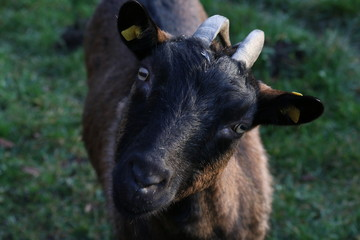 Goat starring