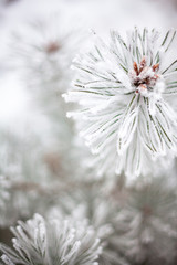 Poster Paardenbloem Coniferous branches covered with hoarfrost