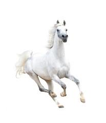 white arabian horse isolated on white
