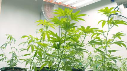 Marijuana Grow Room, Fans, Lights Indoor Crop