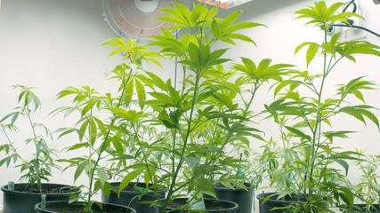 Marijuana Cannabis Plants Indoor Grow Room