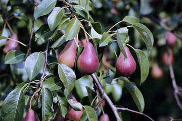 Juicy red pears on branches in a garden