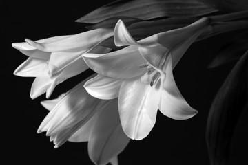 lilies monochrome image