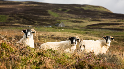 Scottish sheep trio