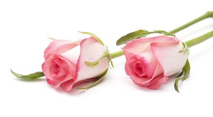 gentle pink rose