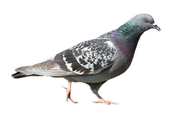 isolated feral pigeon walking Wall mural