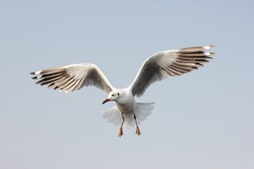 Seagull flying among sky