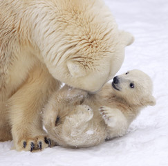 Mother love of polar bear