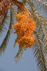 Yellow raw dates