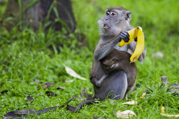 Monkey with baby eating bananas