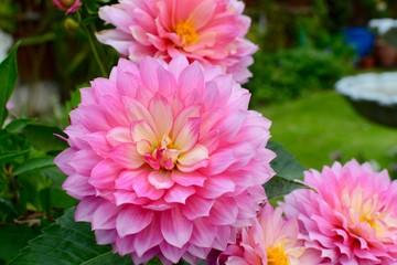 Keuken foto achterwand Dahlia Pink Dahlia Flowers