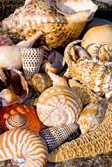 A mixture of different types of tropical seashells and a starfish on a net