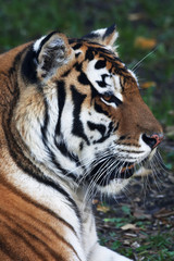 Close up with a beautiful Siberian tiger female. Side face portrait of the lying biggest cat with open chaps. The most dangerous and mighty beast of the world. The very powerful and dodgy raptor.
