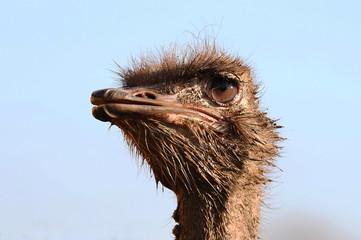 Vogel Strauß, Porträt, Struthio Camelus