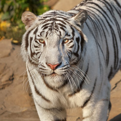 Foto op Canvas Tijger Eye to eye with sunlit white bengal tiger. The most beautiful animal and very dangerous beast of the world. This severe raptor is a pearl of the wildlife. Animal face portrait.