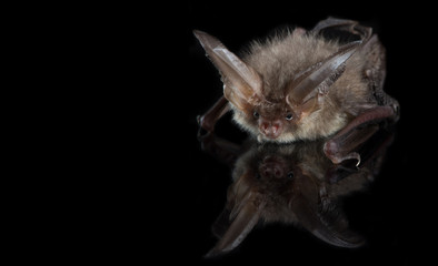 Brown long-eared bat on a black background
