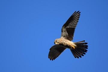 Hawk Scotland