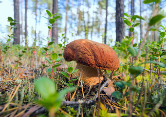 Mushroom boletus growing in forest clearing .