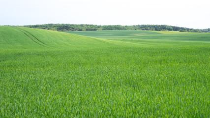 Getreidefeld in der Uckermark