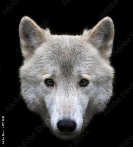 """""""Dodgy Look Of A Polar Wolf Male, Isolated On Black"""