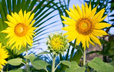 Beautiful Sunflowers blooming in the field, agriculture flower