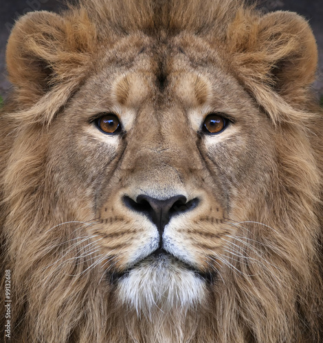 The face of an Asian lion. The King of beasts, biggest cat of the world, looking straight into the camera. The most dangerous and mighty predator of the world. Authentic beauty of the wild nature.