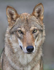 Head and neck of young, two year old, european wolf female. Face portrait of forest dangerous beast, Canis lupus lupus, on blur background. Beauty of wildlife.