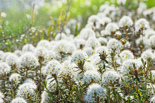 Blooming Ledum in the Siberian tundra in spring
