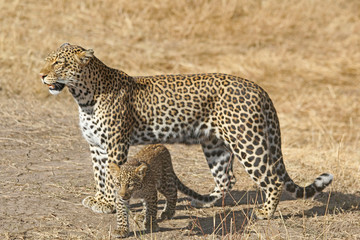 Leopard Mother and Cub Walking