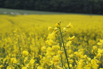 Canola field in Ireland with plant prominent in foreground.