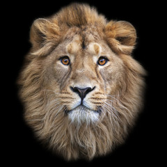 The face of an Asian lion, isolated on black background. The King of beasts, biggest cat of the world, looking straight into the camera. The most dangerous and mighty predator of the world.