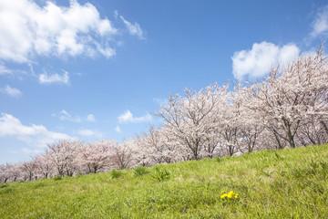 桜の木と草原 東京
