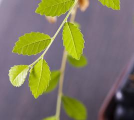Ulm green leaves