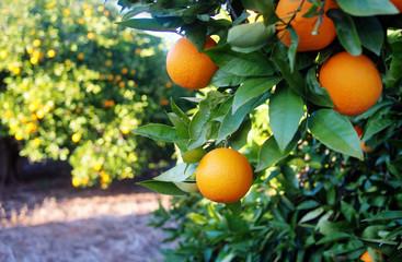 Valencian orange and orange blossoms