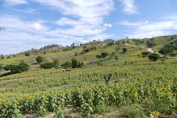 tourist on rickshaw travel in sunflower field on the mountain in