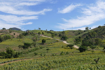 sunflower field on the mountain