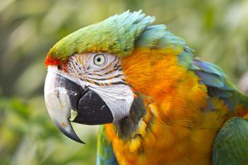 Ruffled Macaw