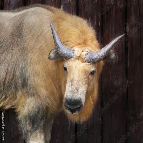 Asian mountain goat