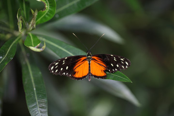 Butterflies, Heliconius Helicale