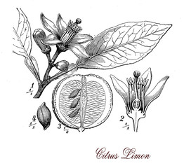 Lemon tree, botanical vintage engraving