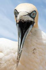 portrait of a singel cape gannet