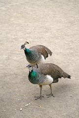 Two female peacocks in Prague garden