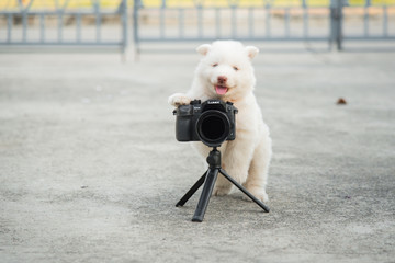 siberian husky puppy taking a photo