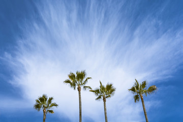 Four palm trees with a blue sky and cirrus cloud.