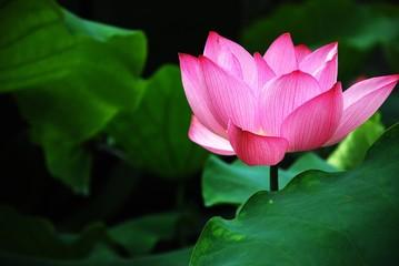Blooming lotus