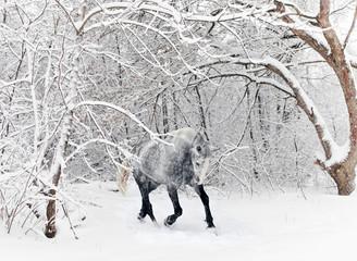 Horse gelding running in new fallen snow