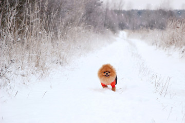 Running dog. Pomeranian dog in snow. Winter dog. Cute little spitz