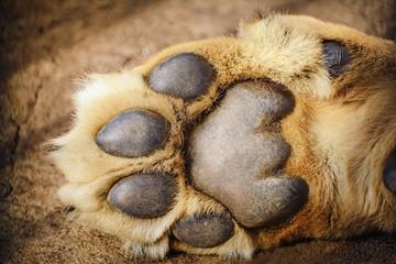 Paw of Lion