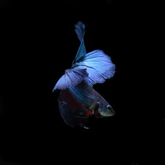 blue siamese fighting fish, betta fish isolated on black