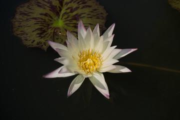 Lotus flower in the poor.
